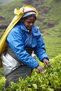 Tamil Woman Picks Fresh Tea Leaves Stock Photography - 85101892