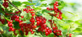 Bush Of Red Currant Royalty Free Stock Image - 85122796