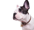 Profile Picture Of A Cute French Bulldog Looking To Side Royalty Free Stock Photo - 85148885