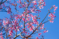 Pink Flowers Cherry Blossom Or Sakura Flower With With Blue Sky Stock Photo - 85177390