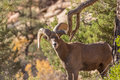 Desert Bighorn Sheep Ram Royalty Free Stock Image - 85183286