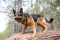 Dog German Shepherd In The Forest Royalty Free Stock Images - 85198799