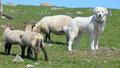 Sheeps And Pyrenean Mountain Dog Royalty Free Stock Image - 85214036