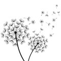 White Background With Two Stylized Black Dandelions Royalty Free Stock Photography - 85266907