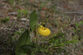 Yellow Lady Slipper Stock Images - 85297424