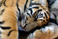 Sleeping Young Tiger Stock Images - 8533654