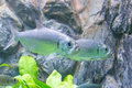 Tarpon Indo-Pacific Or Megalops Cyprinoides Fish With Grass Back Stock Photo - 85313540