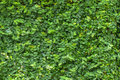 Wall Of Leaves Stock Images - 85324294