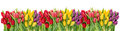 Fresh Spring Tulip Flowers Water Drops Floral Banner Stock Image - 85332451