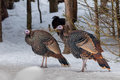 Wild Turkey In The Winter Forest Royalty Free Stock Photos - 85345328
