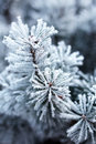 Pine Branches Covered With Hoarfrost Royalty Free Stock Images - 85363129