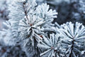 Pine Tree Covered With Frost Royalty Free Stock Photo - 85363765