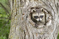 Baby Raccoon With His Head Sticking Out Of A Hole Stock Image - 85366951