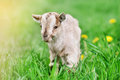 Cute Little Goat Stock Images - 85442044