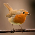 Pretty Bird With A Nice Orange Red Plumage Royalty Free Stock Images - 85482149