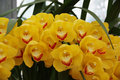 Yellow Orchid Stock Image - 85546291