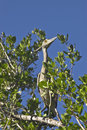 Bahamian Crane In A Tree Stock Images - 8567504