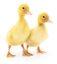 Two Yellow Ducklings. Royalty Free Stock Photography - 85602377