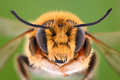 Extreme Magnification - Solitaire Bee, Megachilidae Stock Images - 85640334