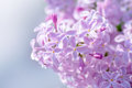 Pink Lilac Flowers Royalty Free Stock Photography - 85642277