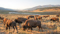 Bison Buffalo Herd In Early Morning Light In The Lamar Valley Of Yellowstone National Park In Wyoiming Royalty Free Stock Images - 85657429
