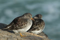A Beautiful Winter Visiting Purple Sandpiper, Calidris Maritima, Sitting On A Rock At High Tide, Along The Shoreline. Royalty Free Stock Image - 85665696