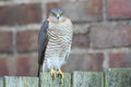 A Beautiful, Wild, Sparrowhawk, Accipiter Nisus, Perched On A Garden Fence Looking Around For Its Next Meal. Royalty Free Stock Photo - 85665765