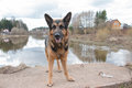 Dog German Shepherd Near Water Royalty Free Stock Image - 85694656