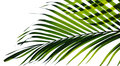 Palm Leaves Isolated Royalty Free Stock Photography - 85753207