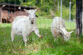 White Goats Royalty Free Stock Photography - 85777017