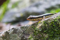 Common Forest Skink In Forest Stock Photography - 85839842