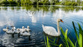 Swan Royalty Free Stock Photo - 85894125