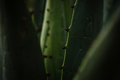 Macro Maguey Plant Stock Images - 85937664