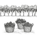 Vineyard And Grapes In Basket. Isolated On White Background. Hand Drawn Vector Illustration Stock Image - 85989491