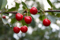 Sweet Cherries Royalty Free Stock Photo - 864105