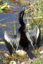 Anhinga Male Bird Royalty Free Stock Photography - 864117