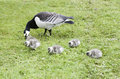 Barnacle Goose With Goslins Stock Photo - 864710