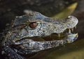 Head Of An Alligator Looking For Enemies Stock Photos - 86005043