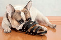 Bulldog Chewing On Slippers Stock Photography - 86043232