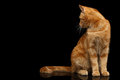 Ginger Cat On Isolated Black Background Stock Images - 86078074