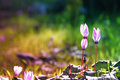 Dreamy Image Of Cyclamen Flowers Blooming In The Forest Stock Image - 86096701