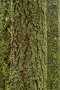 Mossy Tree Trunks Stock Photography - 8610042