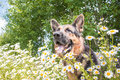 Dog German Shepherd And Grass Around In A Summer Stock Photo - 86111580