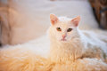 White Cat Lying On The Bed. Thick, Fluffy And Important Royalty Free Stock Image - 86158646