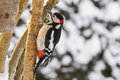 Great Spotted Woodpecker Bird In Black, White, Red With Snow Cov Stock Photo - 86270770