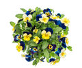 Pansy Spring Flowers White Background Blue Yellow Stock Images - 86294574