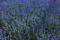 Blue Forget-me-not Flowers In Holland Park. Royalty Free Stock Photography - 86299407