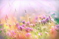Soft Focus On Flowering Clover, Clover Lit By Sun Rays Royalty Free Stock Image - 86304986