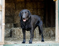 Black Labrador Retriever Dog In Hay Barn Stock Images - 86307444