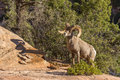 Desert Bighorn Sheep Ram Royalty Free Stock Image - 86310286